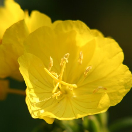 cd487755ed96 Vegetable oils - Evening primrose oil